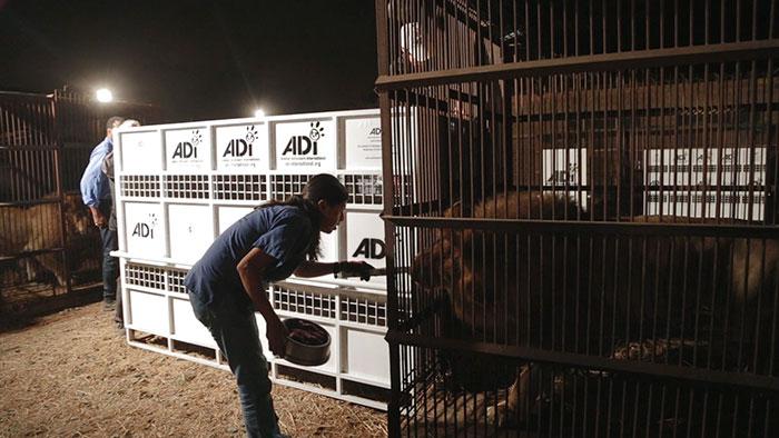 33-circus-lions-rescue-airlift-adi-africa-16