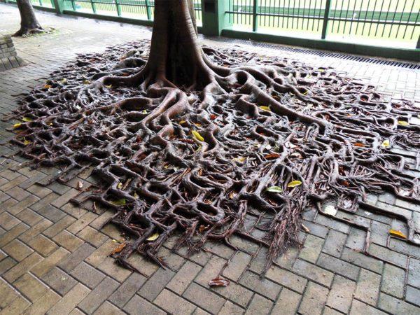 raízes-árvore-passeio