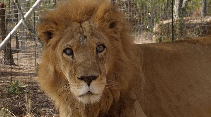 33-circus-lions-rescue-airlift-adi-africa-10
