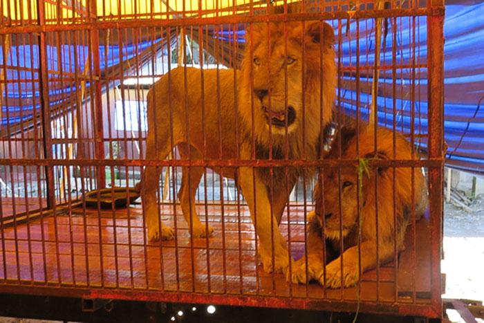 33-circus-lions-rescue-airlift-adi-africa-11)