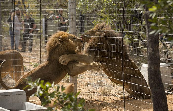 33-circus-lions-rescue-airlift-adi-africa-23