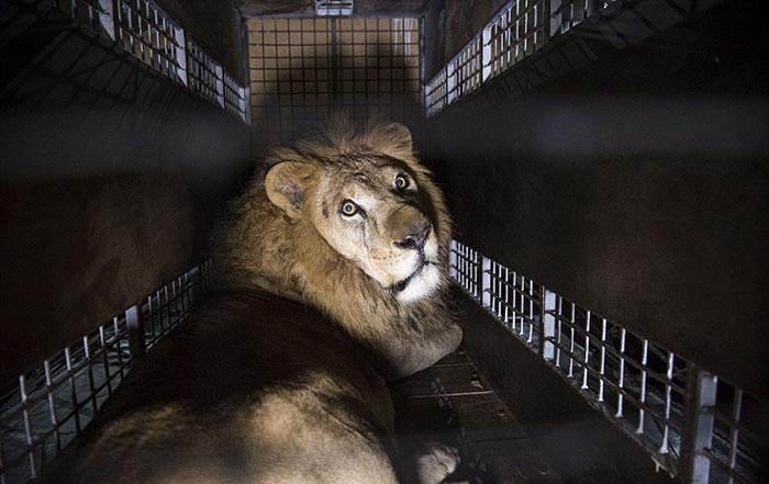 33-circus-lions-rescue-airlift-adi-africa-31