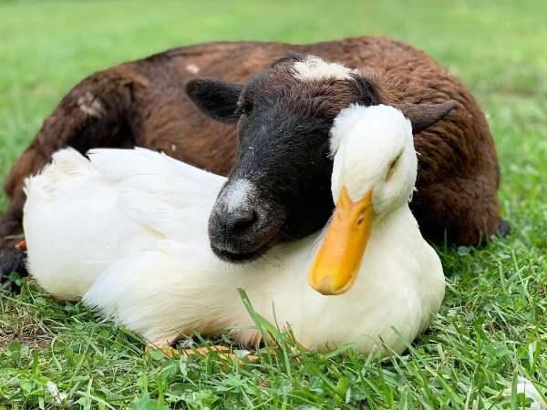 cabra-pato-abraco-5797025