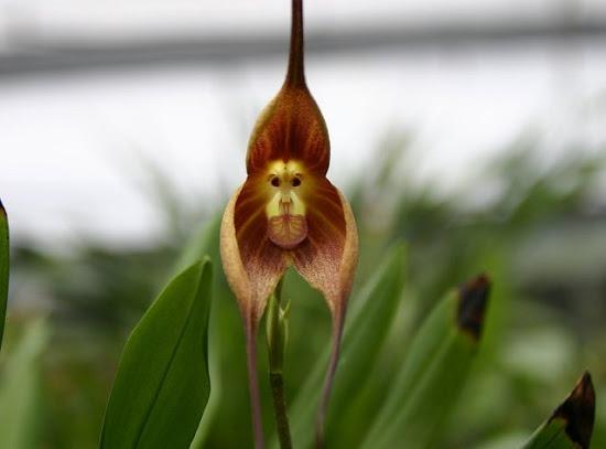 orquidea-cara-macaco-1