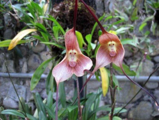 orquidea-cara-macaco-2