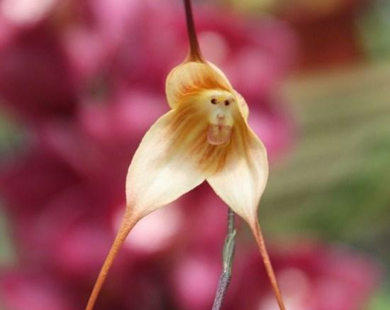 orquidea-cara-macaco-6